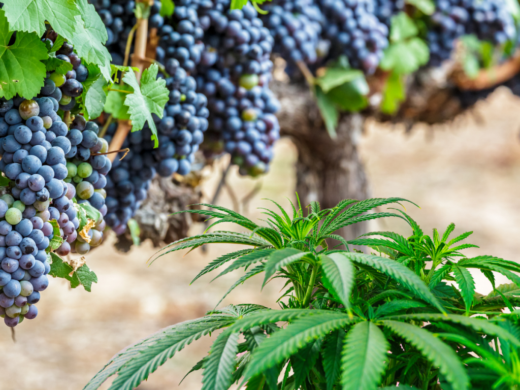cannabis events at the vineyard